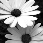 Black_and_White_Flowers_